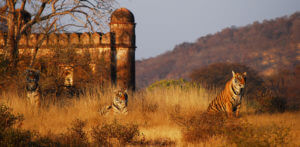 A weekend package to Ranthambore